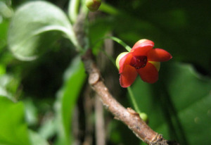 Native Starvine